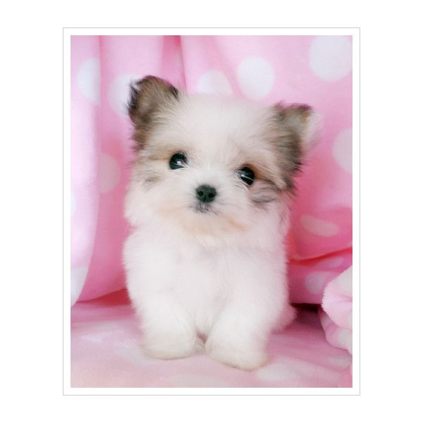 Mixed Breeds For Sale At Teacups Puppies South Florida Liked On Polyvore Teacup Puppies Cute Animals Smartest Dog Breeds