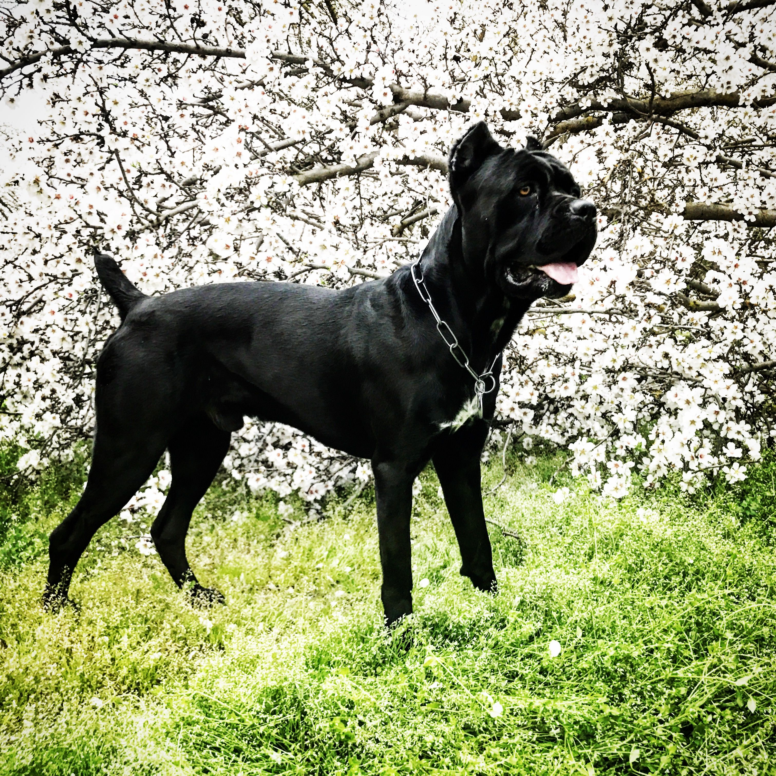 Cane corso italian mastiff aonghuscanecorso on instagram cane corso italian mastiff aonghuscanecorso on instagram malvernweather Image collections