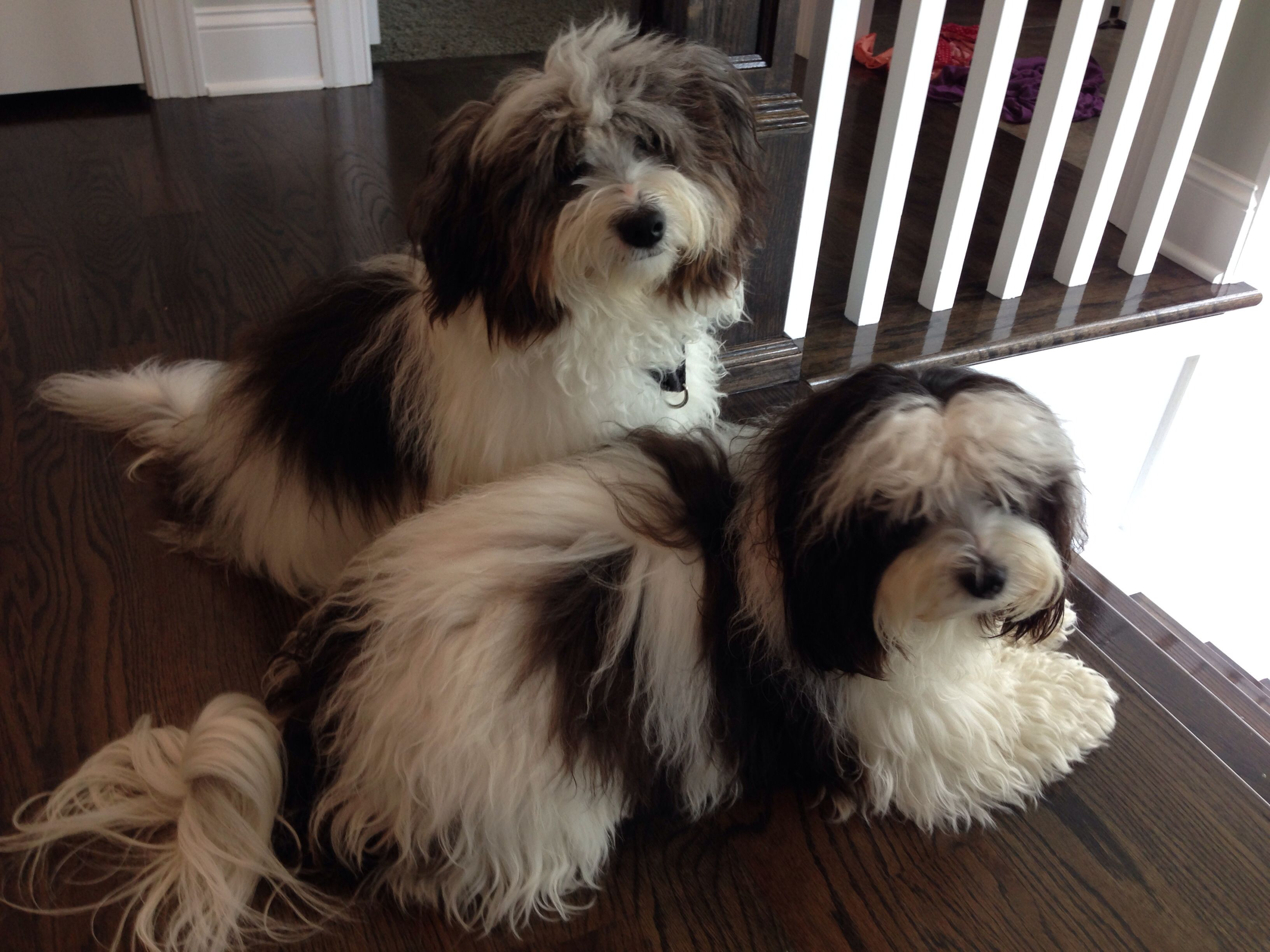 Havanese watching the world go by Havanese dogs