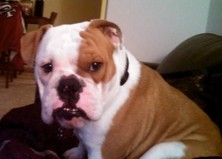 Pin By Us Lost Dog Registry On Bulldogs Us Lost Dog Registry