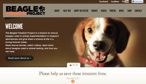 The Beagle Freedom Project Beagle Beagle Puppy Adoptable