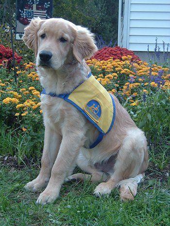 Labrador Golden Retriever Mix He Is A Gorgeous Labrador