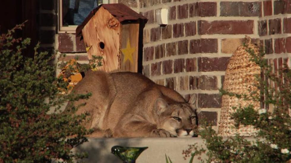 Utah Couple Finds Sleeping Mountain Lion Right Outside