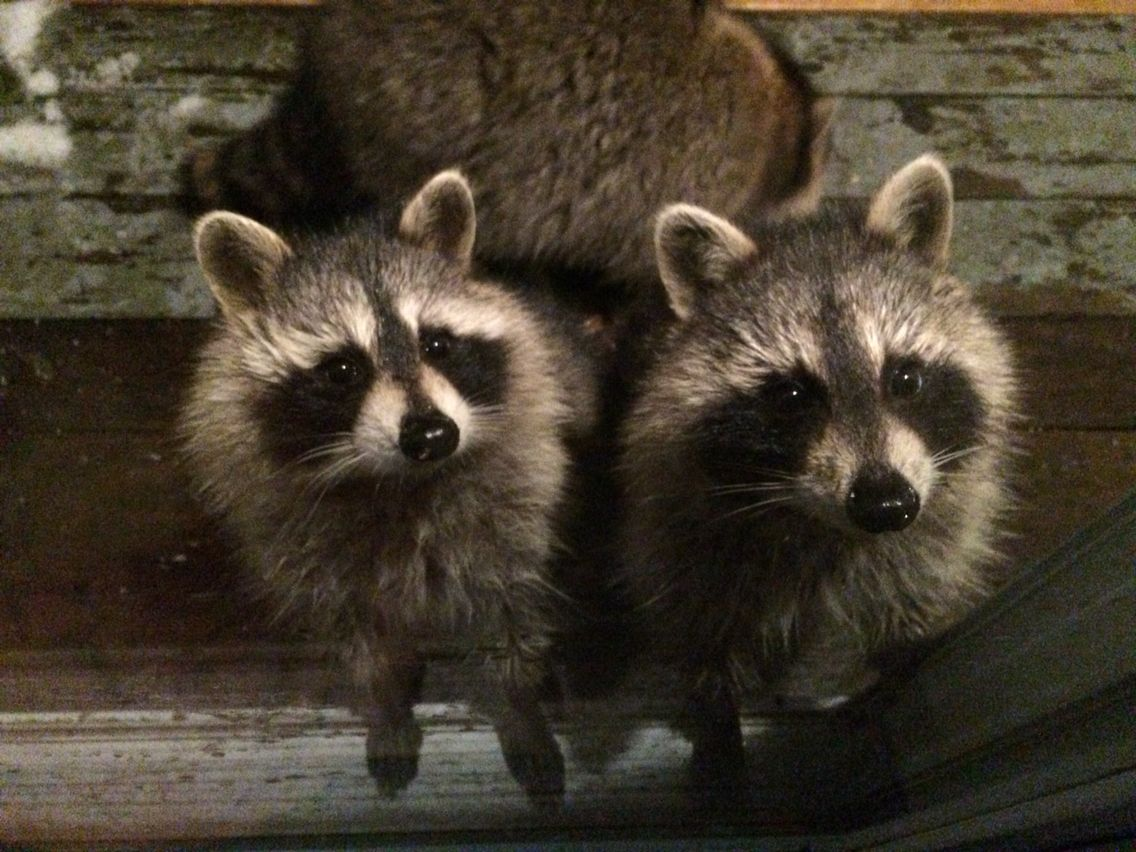 I have a family of raccoons that live in my back yard ...