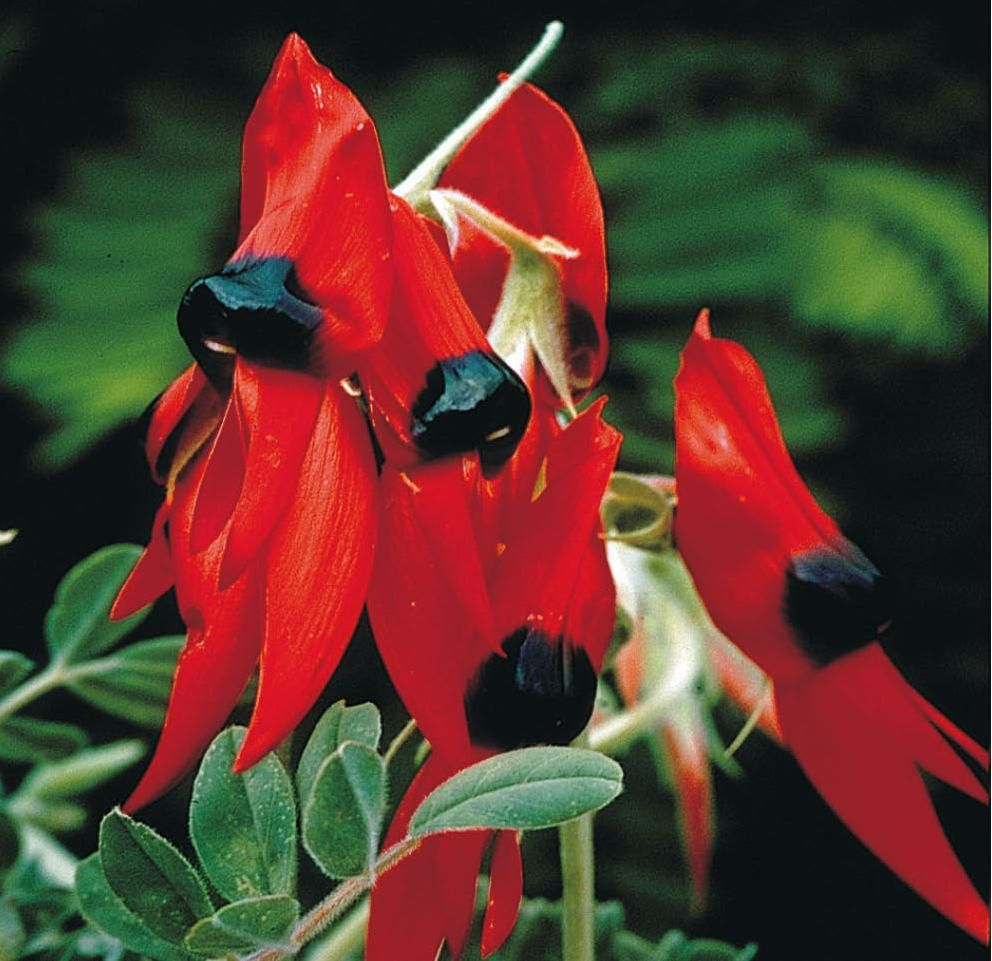 Australian Native Shade Plants: Sturt Pea WILDFLOWER
