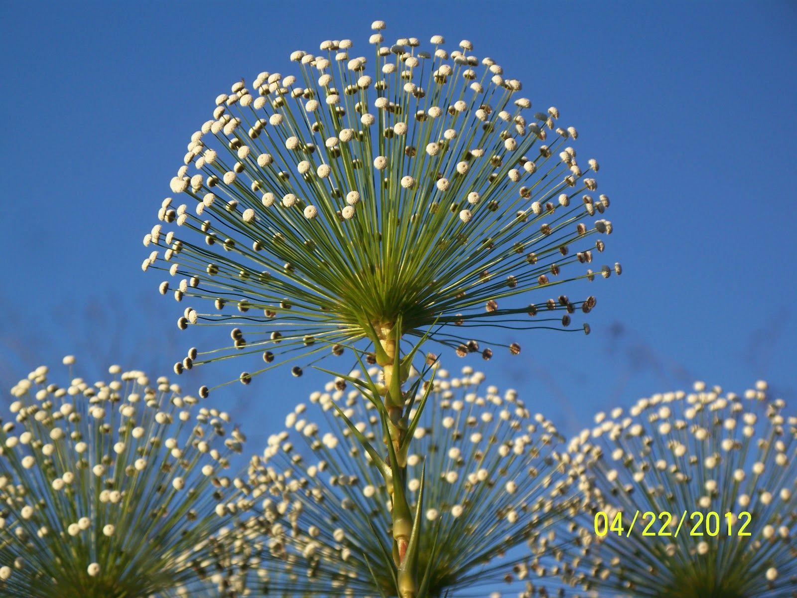 Especie De Flores Do Cerrado Cuiaba Pesquisa Google Com Imagens