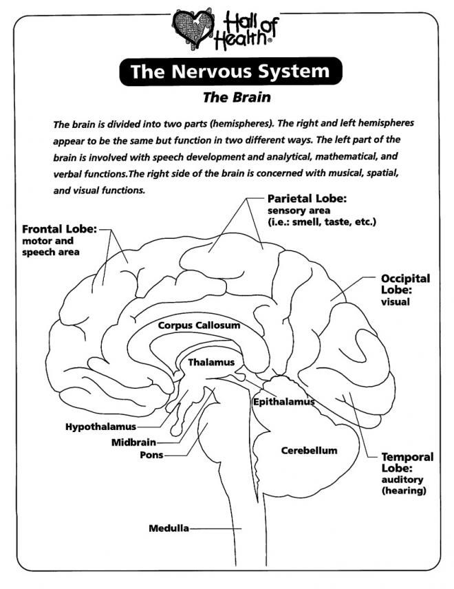 Nervous System The Brain Coloring Page Az Coloring Pages Human Brain Anatomy Nervous System Brain Nervous System