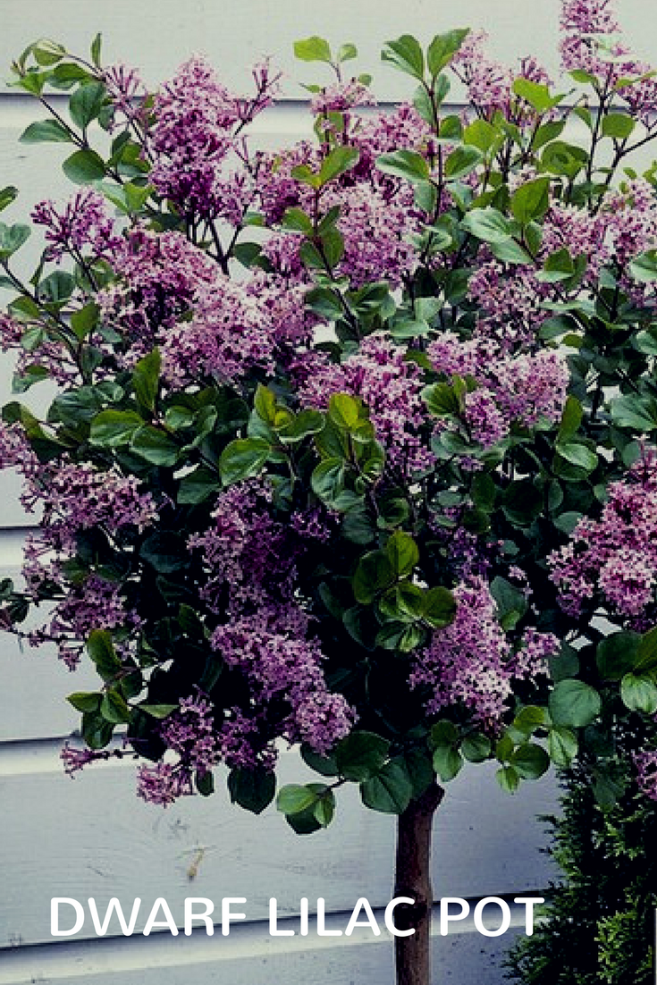 You Can Add Height Fragrance And Drama To Your Garden With A Lilac Dwarf Pot Slow Growing Perfect For Pots Affiliate