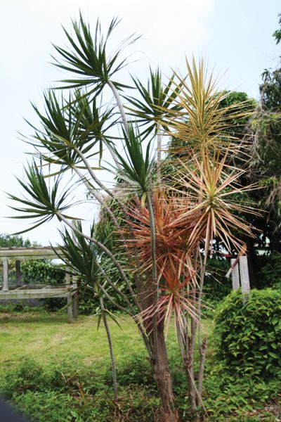 Dracaena Marginata Called Quot Money Tree Quot In Hawaii Feng Shui Pinterest Money Plant Feng