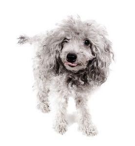 Miniature Poodle Facts Thumbnail Aggressive Dog Poodle Dogs
