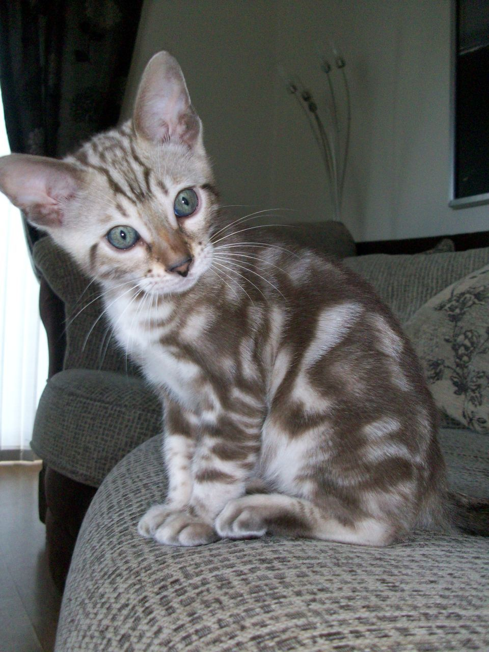 Funny Bengal Cats Yahoo Image Search Results Bengal