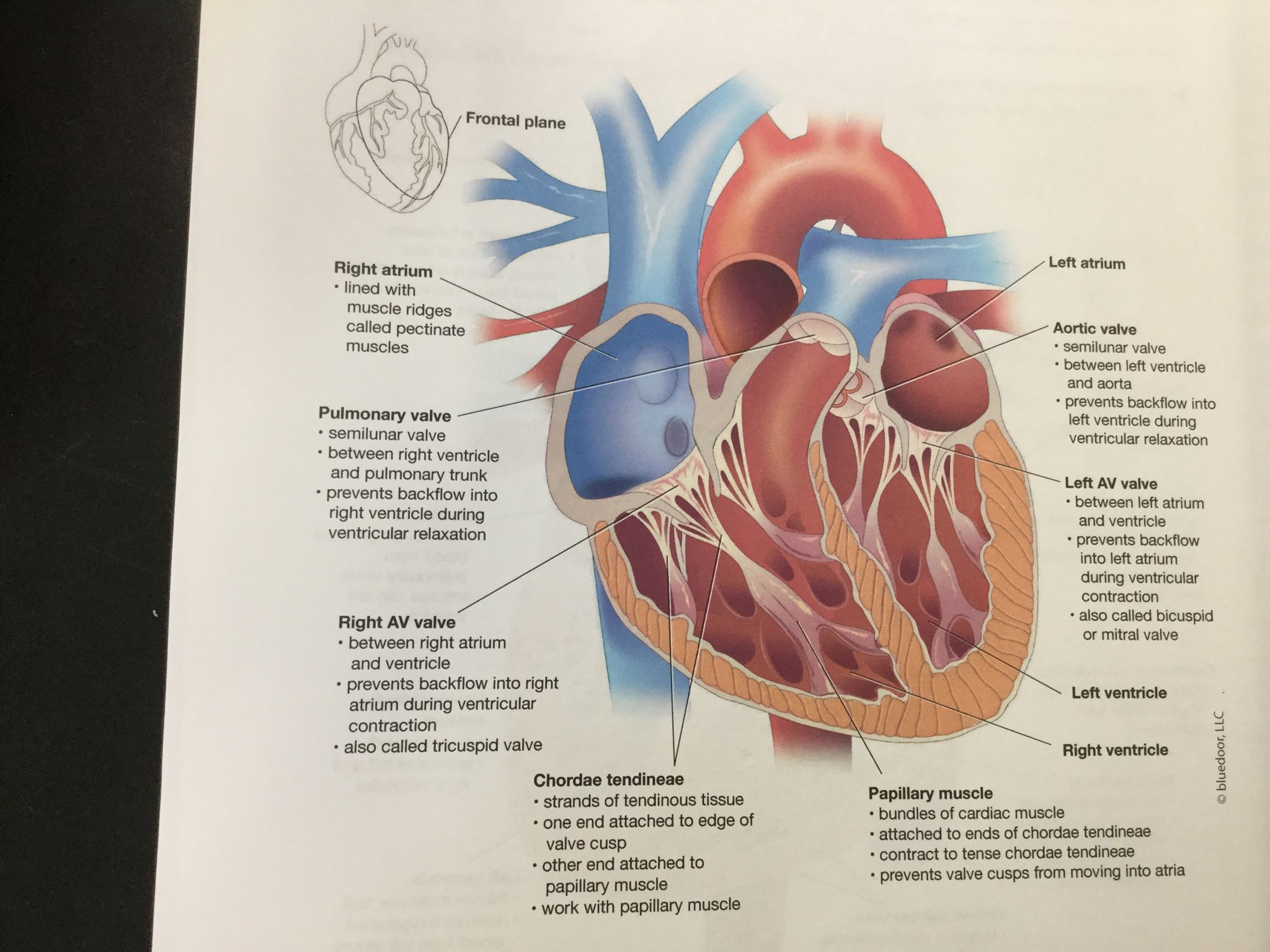 Heart Located In The Mediastinum Of The Thoracic Cavity