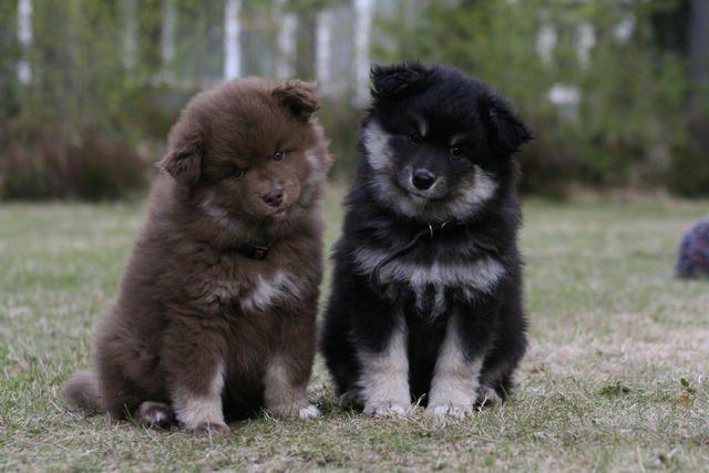 Finnish Lapphund #Dog #Puppy | Dog friends, Finnish ...
