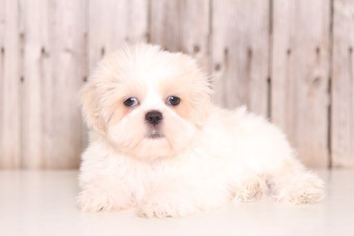 Shih Tzu puppy for sale in MOUNT VERNON, OH. ADN47293 on