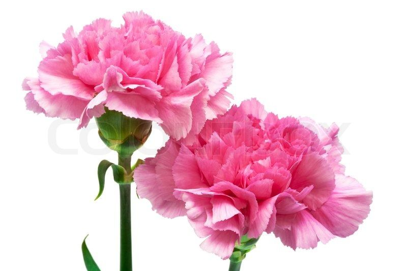 Stock Image Of Two Pink Carnation On A White Background In 2020 Carnations Pink Carnations Flowers