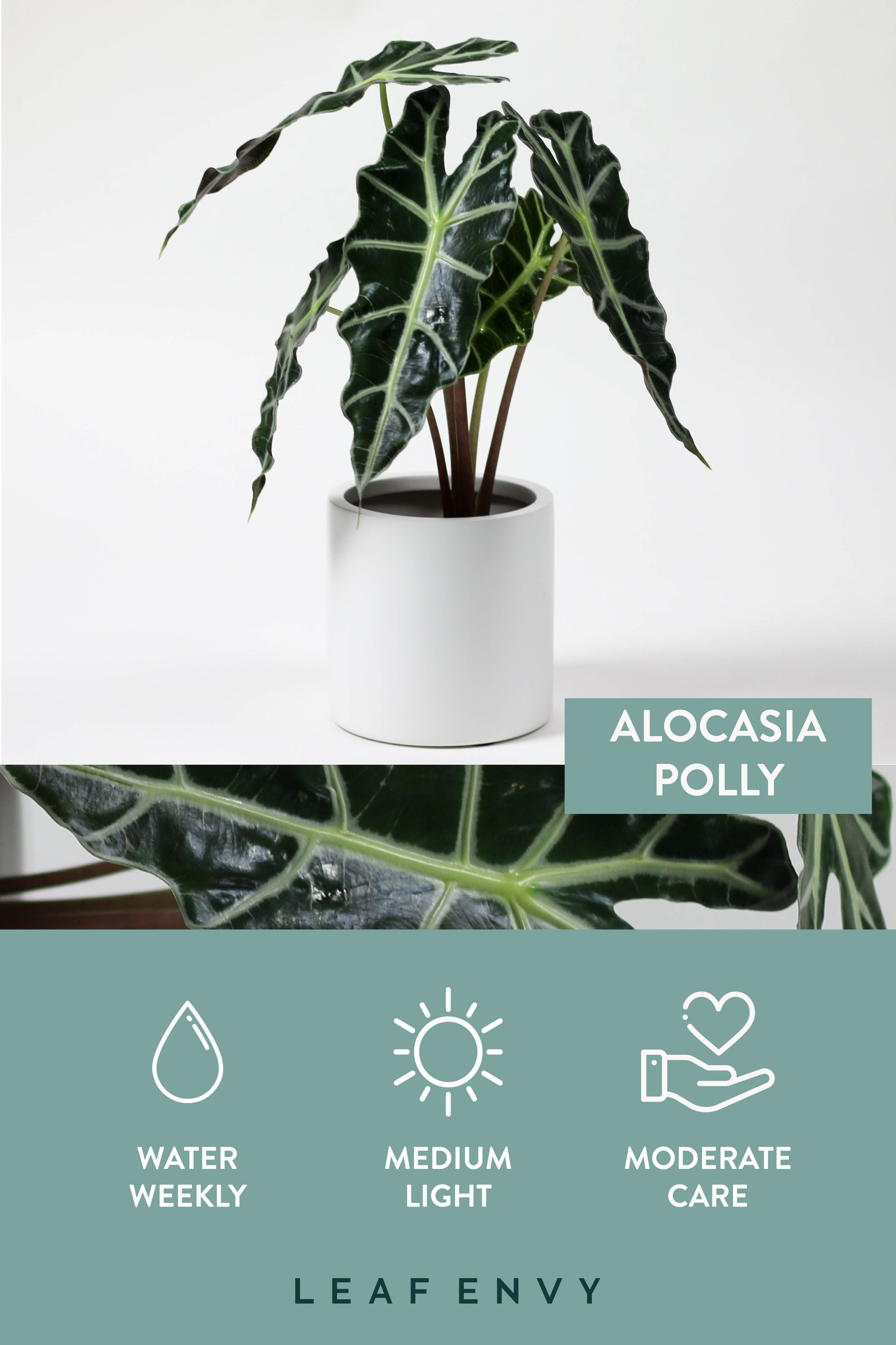 Photo of Alocasia polly