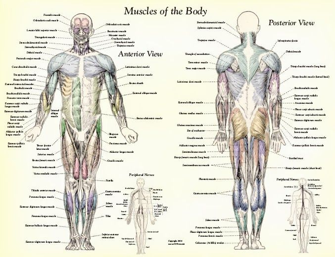 muscle diagram labeled – citybeauty, Muscles
