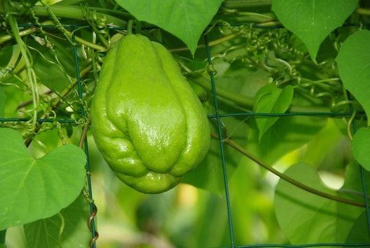 Les l gumes oubli s planter au potager l gumes oubli s - Quand planter les legumes ...