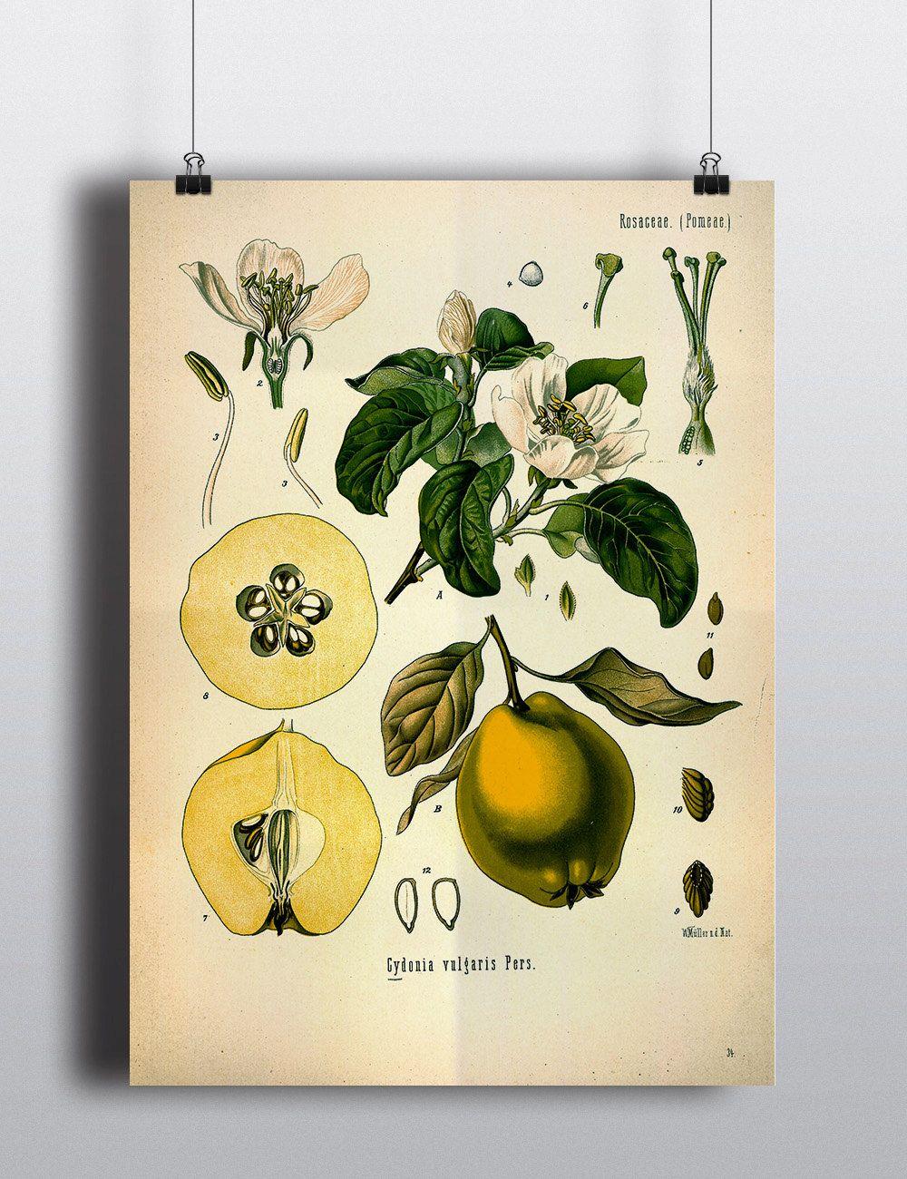 Antique Pear Print 1800s Fruit Illustration Botanical Print Poster ...