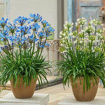 Summer Love Agapanthus Brecks Premium Bulbs Agapanthus Late Summer Flowers Summer Of Love