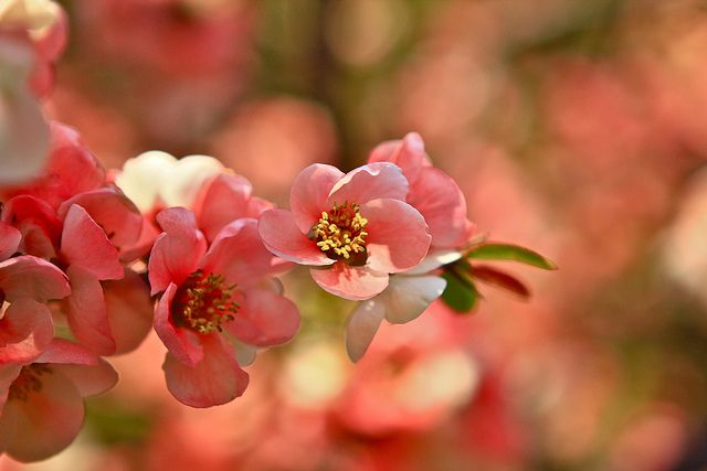 Cherry Blossom by Liping Photo, via Flickr