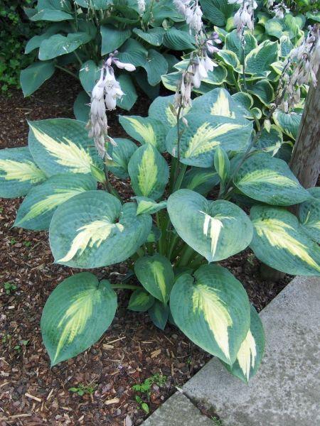Hosta Chain Lightning Hostas Hosta Plants Shade Plants