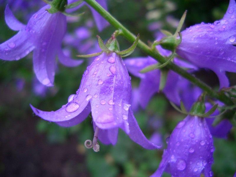 картинки цветы колокольчики