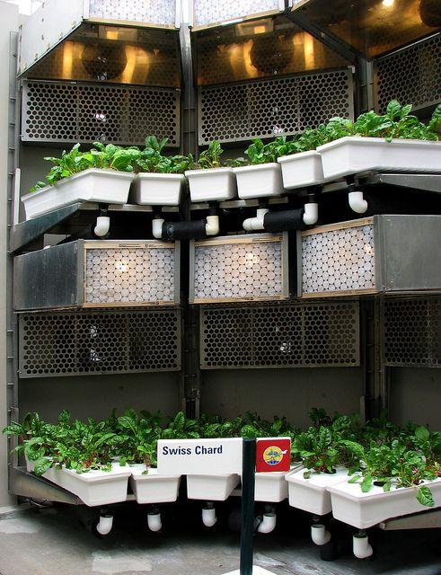Swiss Chard | Hydroponics, Hydroponic gardening ...