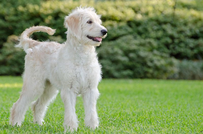Goldendoodle For Home Defense And Catching Squirrels In The Back