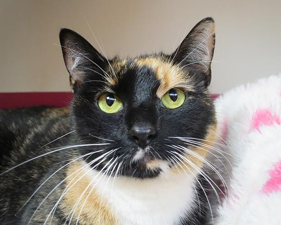 Misty Is Shy Calico Who Needs A Home Nyc Area Cats Calico Kitten Cat Adoption Cat Shelter