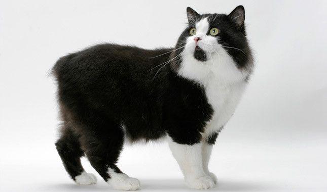 Cymric Cat Breed Information Cat Breeds Manx Cat Tuxedo Cat Facts