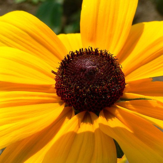 Black-Eyed Susan  Also available as: apparel, cases and skins, wall art, bags, stationery, throw pillows, mugs and leggings