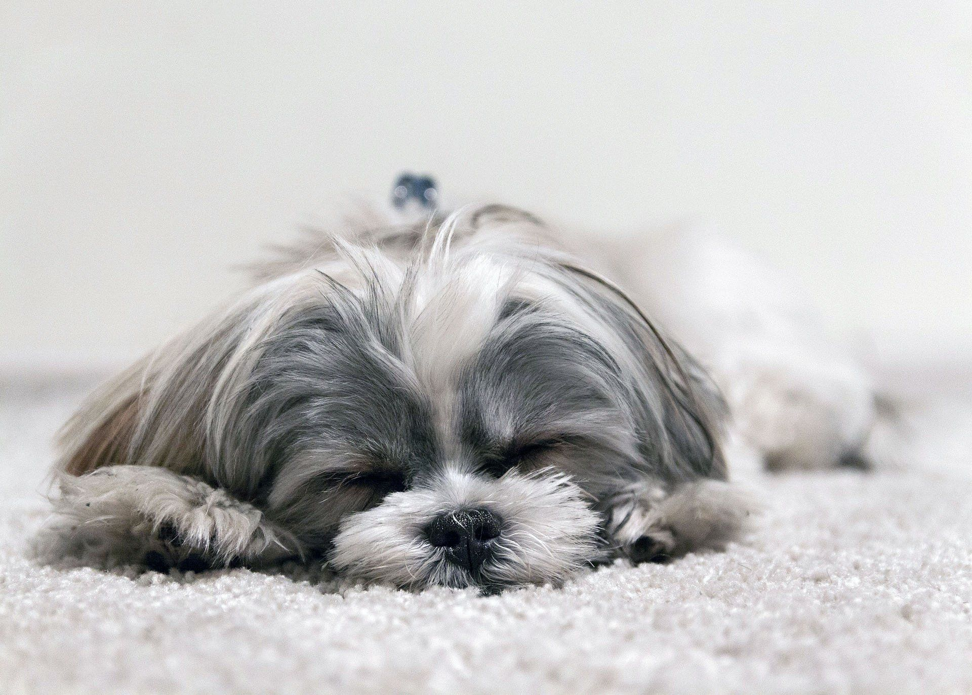 Shih Tzu Puppies The Ultimate Guide For New Dog Owners Cool Dog
