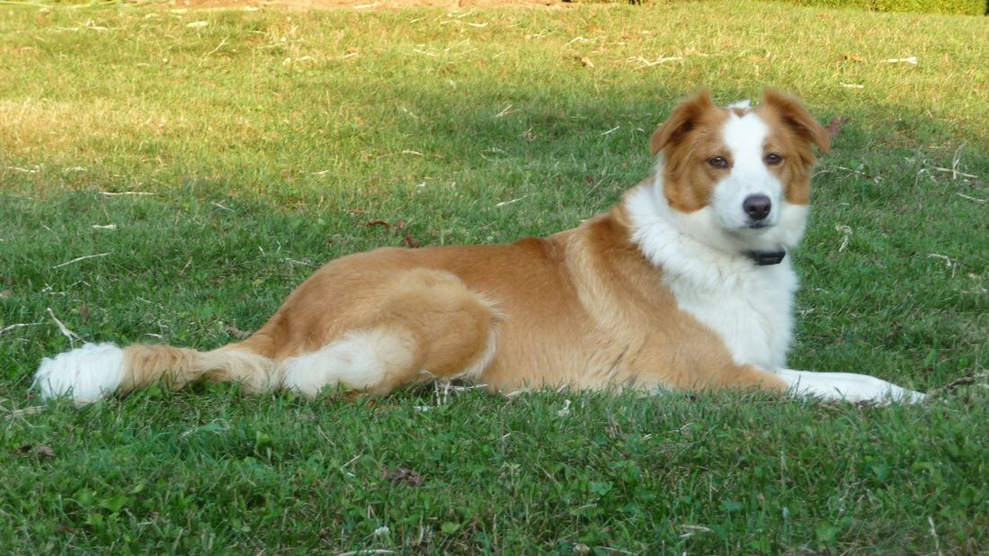 English Shepherd Dog Photo Johnson S English Shepherds Home