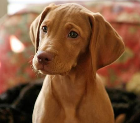 Akc Vizsla Puppies For Sale Picking Your Pup Vizslas Puppies Vizsla Puppies Vizsla Vizsla Dogs