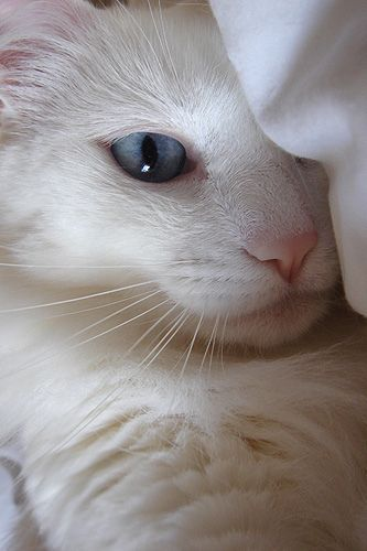 Eighty Percent 80 Of White Cats With Blue Eyes Are Deaf Cats White Cats Cats Beautiful Cats