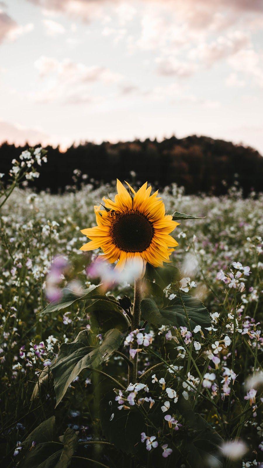 Sunflower | Sunflower iphone wallpaper, Sunflower ...