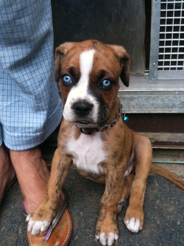 Boxer Forum Boxer Breed Dog Forums Puppies With Blue Eyes