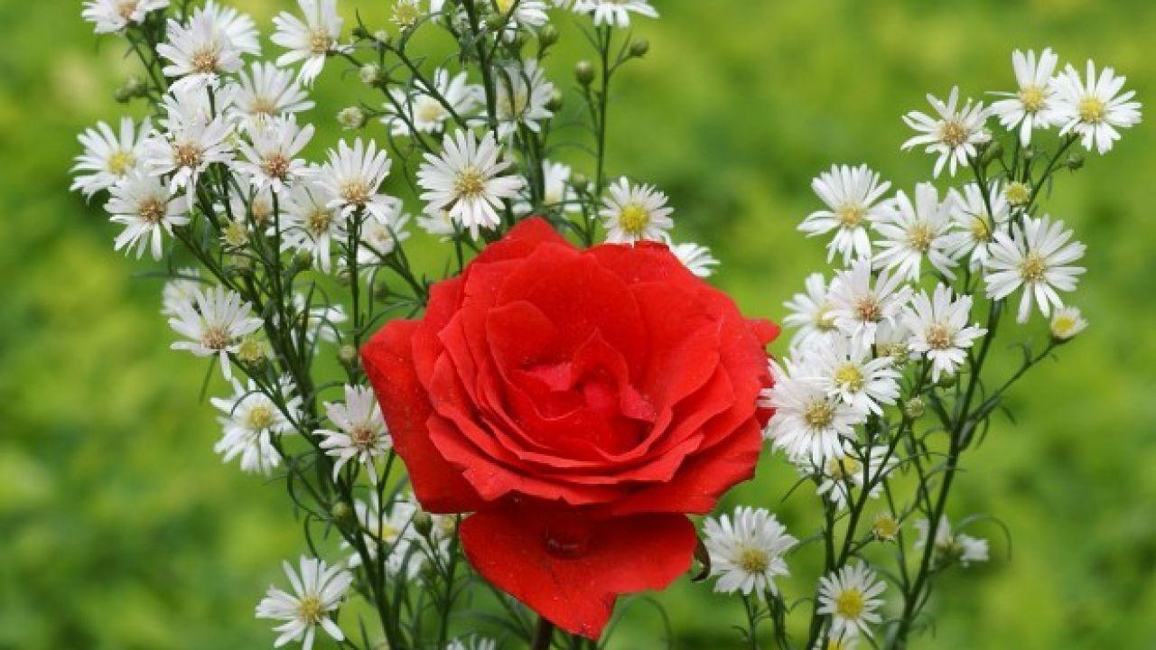 أسماء الورد في اللغة العربية Red Roses Wallpaper Red And White Roses Flower Wallpaper