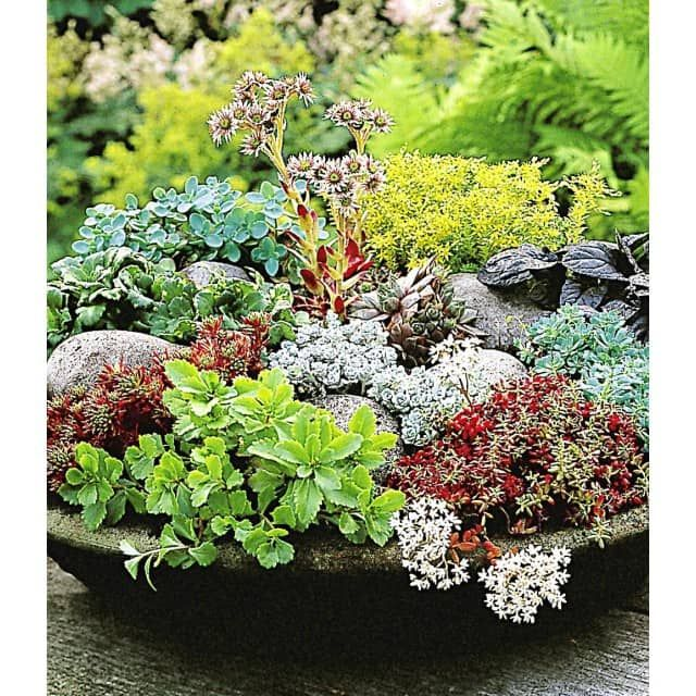 winterharte sedum mischung 6 pflanzen baldur garten. Black Bedroom Furniture Sets. Home Design Ideas