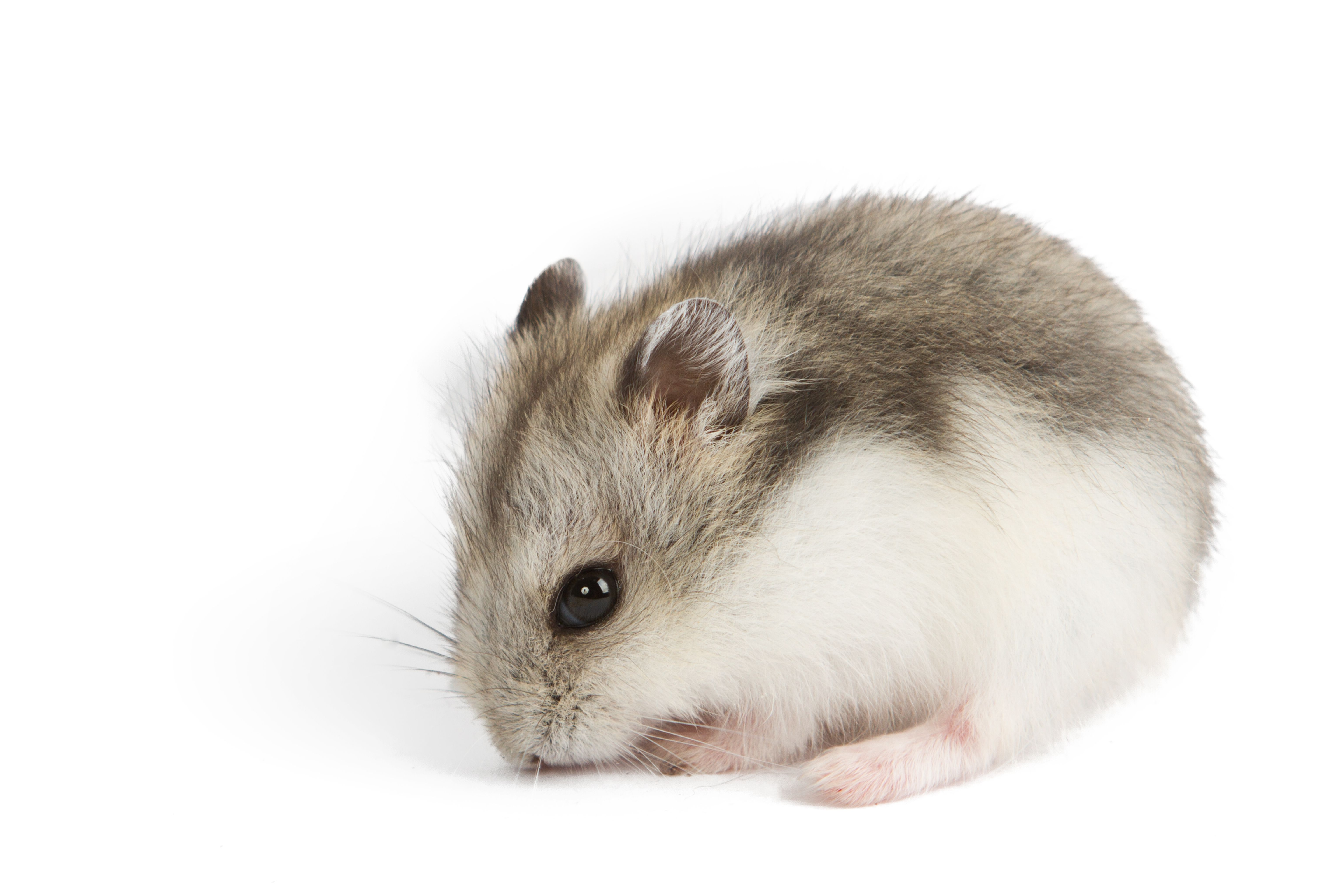 Hamster Breeds: Types of Hamsters