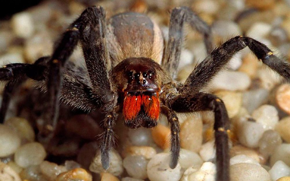 Tamaño de la araña bananera