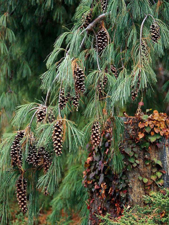 The best conifers for your yard plantae pinophyta pinterest - Gartenpflanzen straucher ...