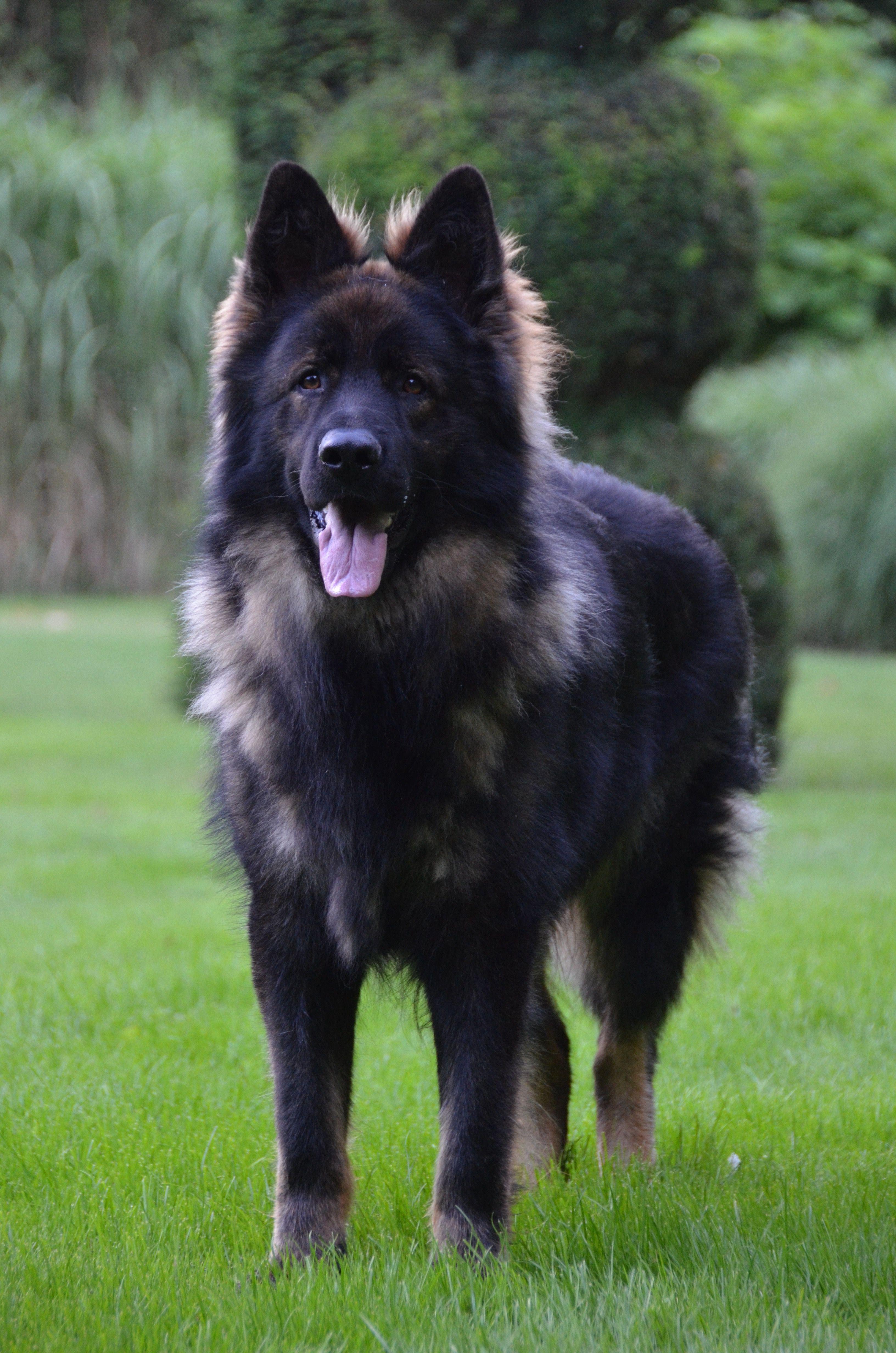 Verbazingwekkend Mowgli 9 weken | Herdershond, Honden, Herder TR-58