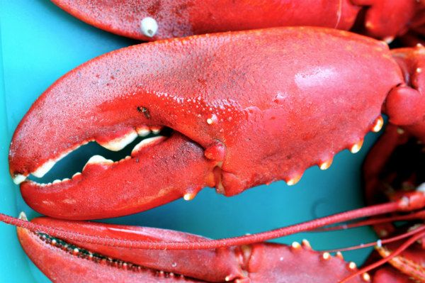 Meet You at the Maine Lobster Festival! Don't forget to put on a bib before you get cracking. #lobster #festival #events #food