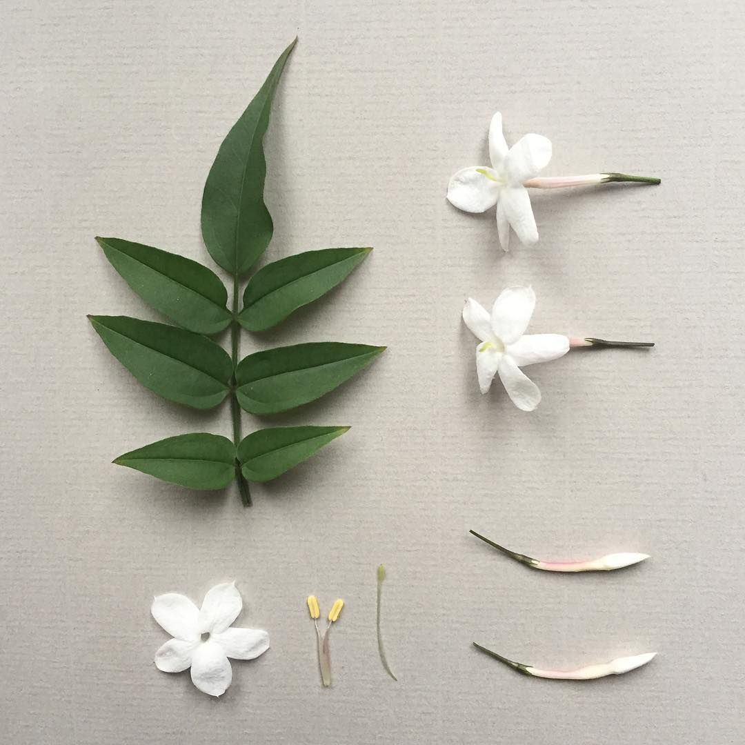 We love the simple shape and elegance of the jasmine flower and we love the simple shape and elegance of the jasmine flower and jasmine is found all over charleston also love that it involves a branch and a flower izmirmasajfo
