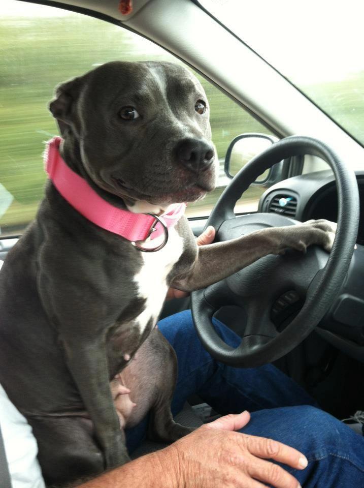 Where Ya Wanna Go Pitbull Terrier Pitbulls