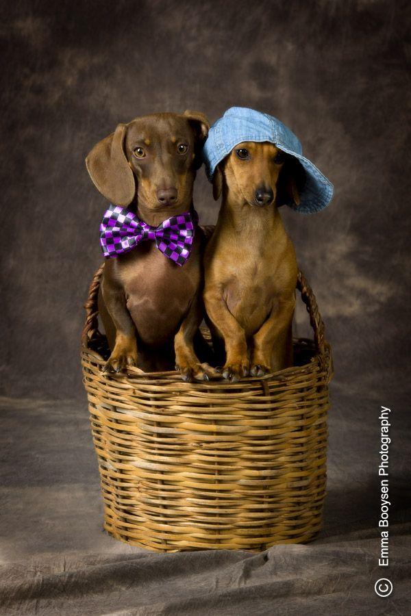 Dachshund Brothers Dachshund Doxie Doggy