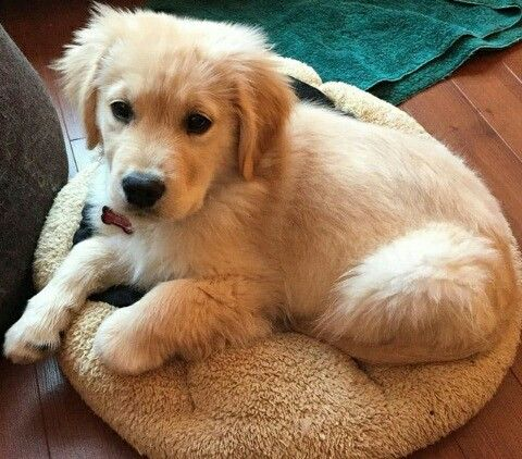 Pin By Hallie Dawn Landis On Puppies Dogs C Golden Retriever Baby Puppies Golden Retriever