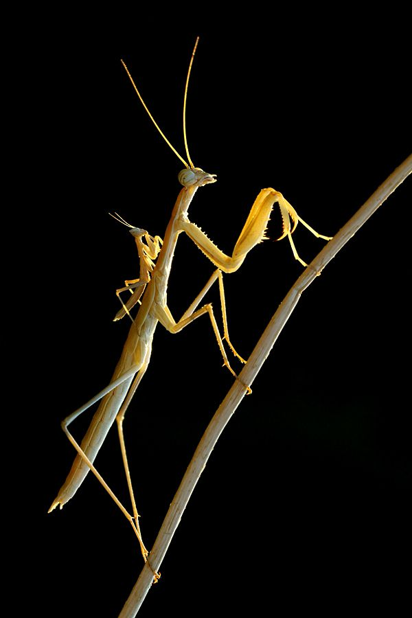 Awesome Photograph Of Mother And Baby Praying Mantis By Mehmet